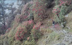 Colors on the Way—Rhododendrons in Bloom while trekking in india