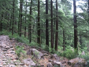 The Jungle Trail from Dharamkot to Galu Devi Temple